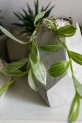 """Горшок с растением """"Trandescantia fluminensis"""""""